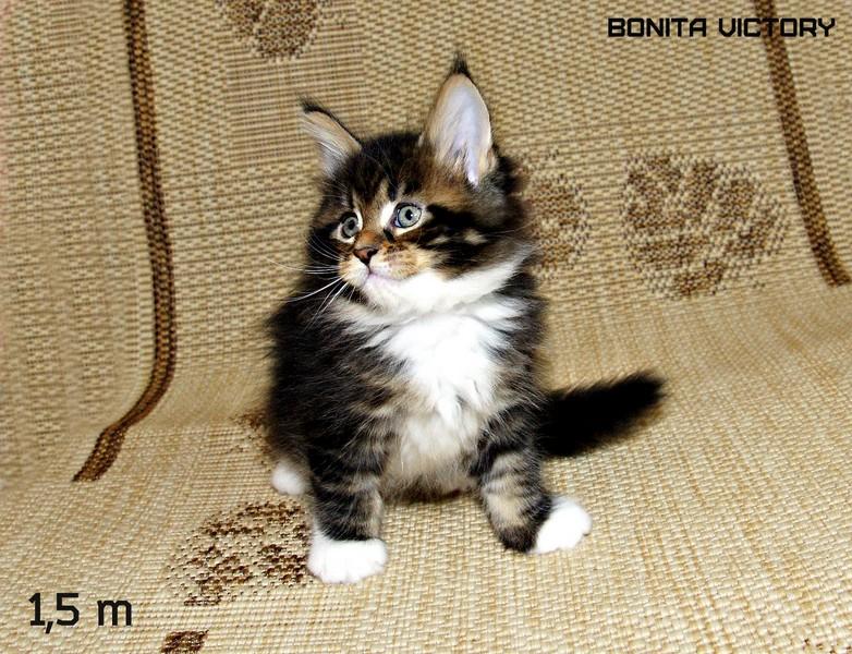 Bonita VICTORY, 1,5 месяца