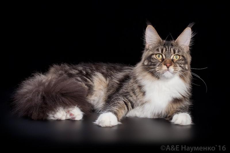 Питомник кошек породы мейн-кун VICTORY