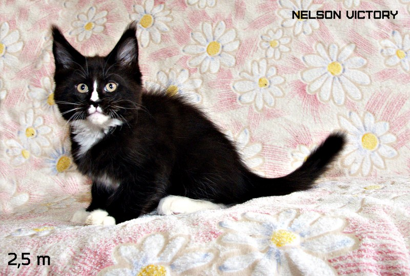 NELSON VICTORY, 2,5 месяца