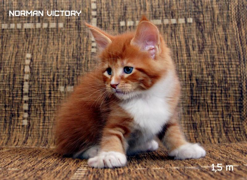 NORMAN VICTORY, 1,5 месяца