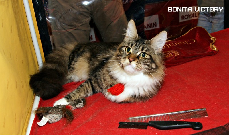 """Bonita Victory, 7-9 мая 2016 """"Лучший весенний кот - 2016"""""""