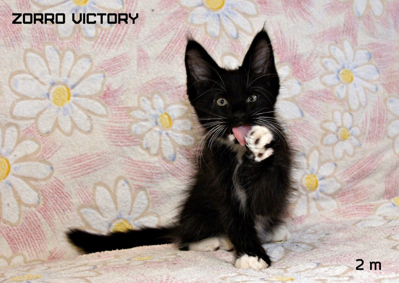 Zorro Victory, 2 месяца