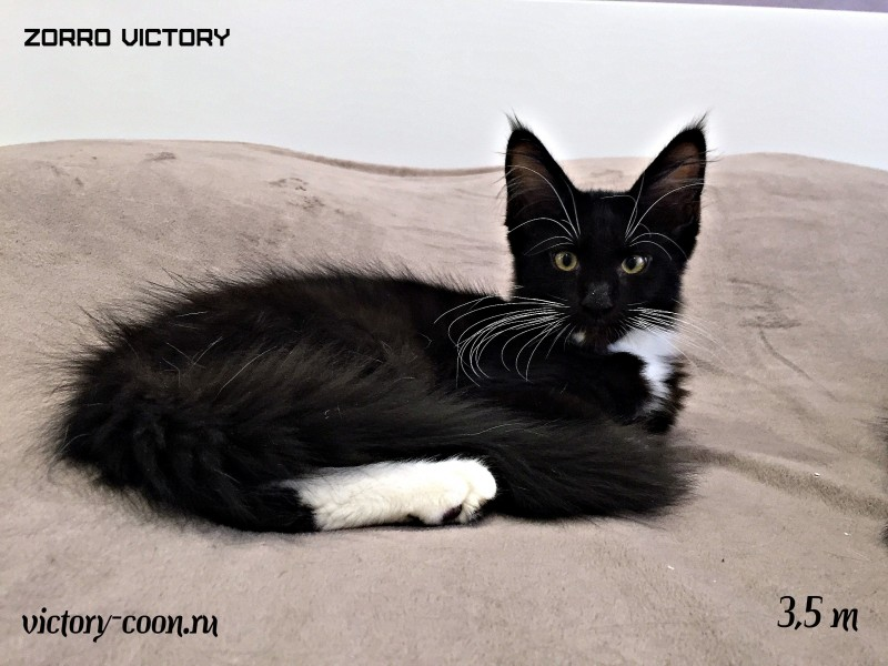 Zorro Victory, 3,5 месяца