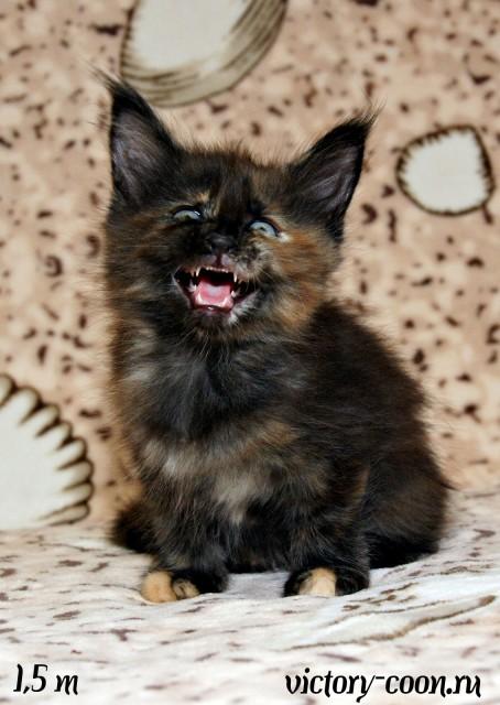 кошка 1, 1,5 месяца, Victory