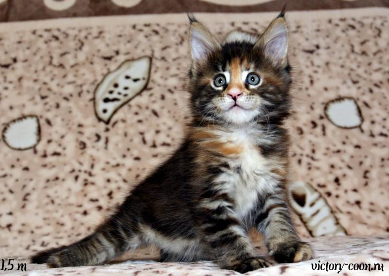 кошка 2, 1,5 месяца, Victory