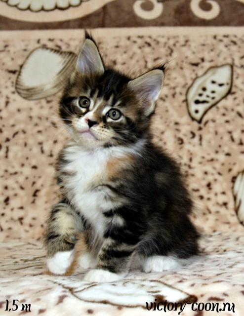 кошка 3, 1,5 месяца, Victory