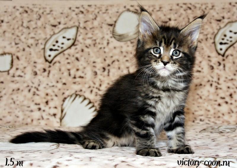 кошка 4, 1,5 месяца, Victory