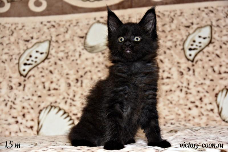 кошка 5, 1,5 месяца, Victory