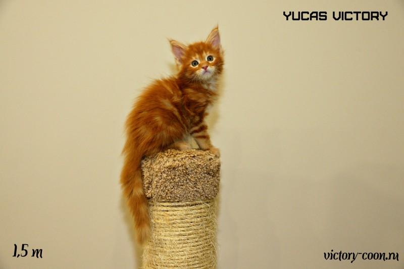 Yucas Victory, 1,5 месяца
