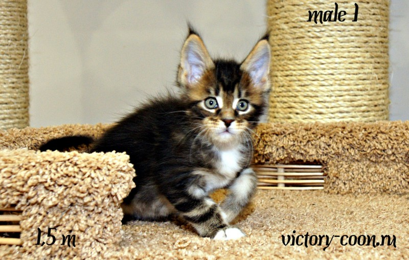 Yaropolk Victory, 1,5 месяца