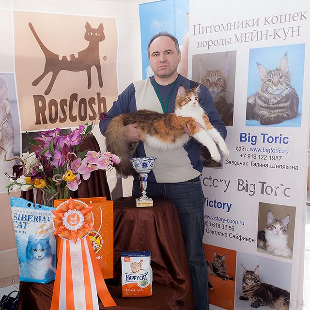 Рокси - лучшая взрослая кошка породы мейн-кун
