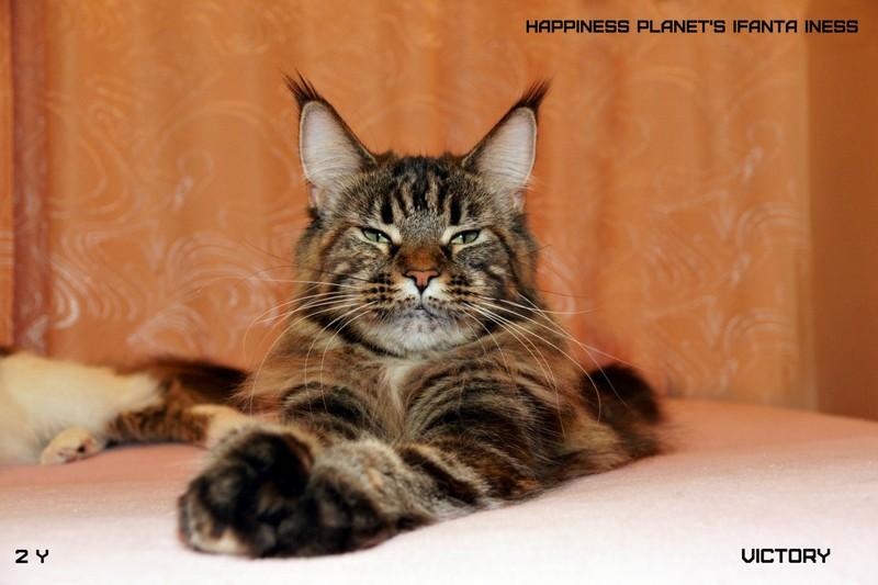 Старшая кошка питомника Ласка